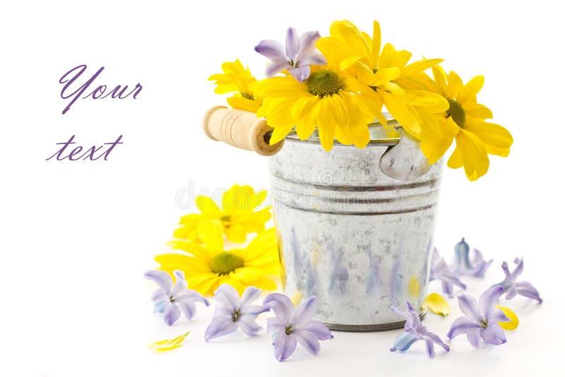 Crisantemos amarillos de las flores y jacinto azul imágenes de archivo libres de regalías