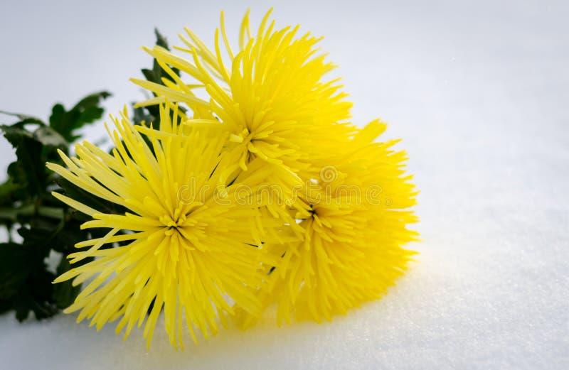 Crisantemos amarillos en nieve foto de archivo