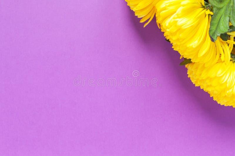 Crisantemos amarillos vibrantes en fondo púrpura del azafrán de la primavera Endecha plana horizontal Maqueta con el espacio de l imagenes de archivo