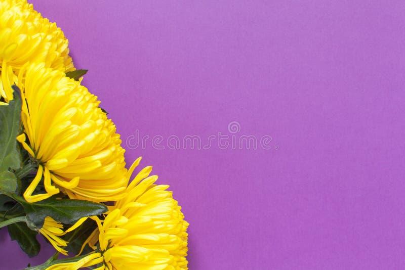 Crisantemos amarillos vibrantes en fondo púrpura del azafrán de la primavera Endecha plana horizontal Maqueta con el espacio de l fotografía de archivo libre de regalías