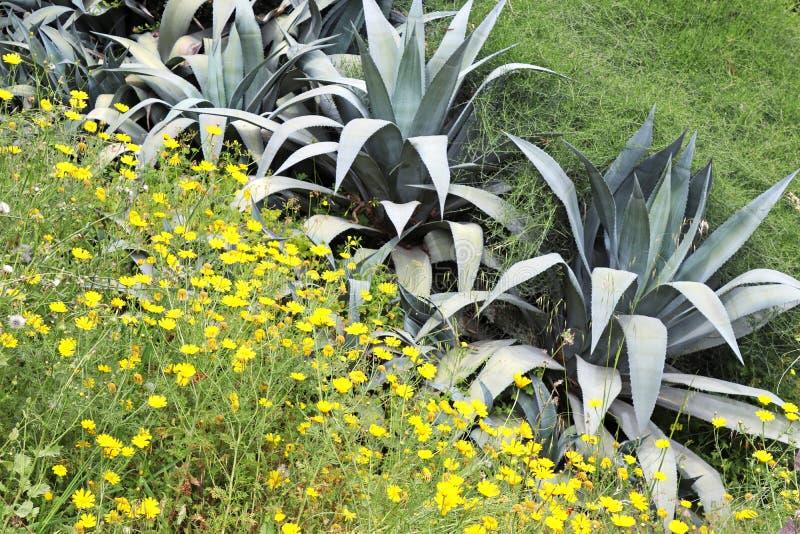 Crisantemos amarillos y suculento salvajes imagen de archivo