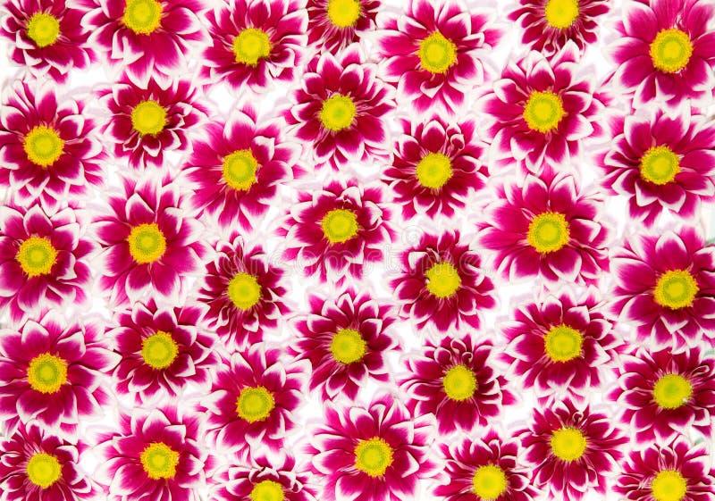 Crisantemos carmesís
