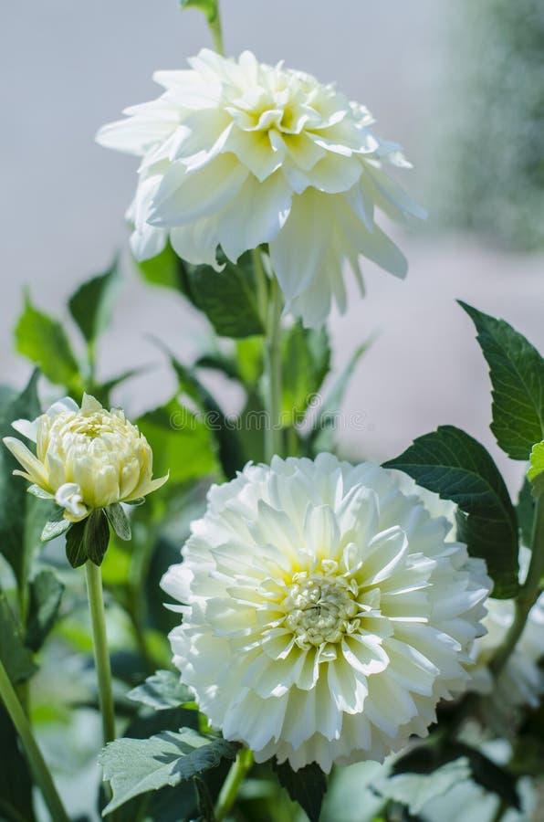 Crisantemos del blanco de la flor imagenes de archivo