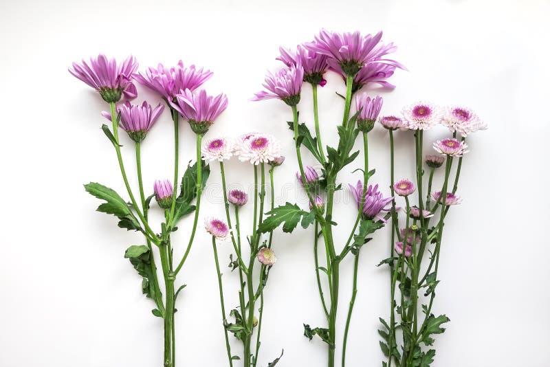 Crisantemos púrpura fotos de archivo