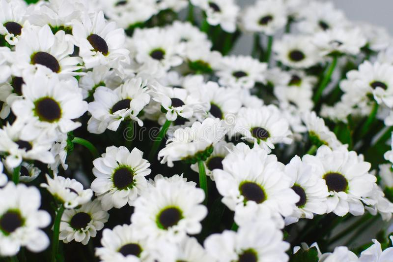 Crisantemos salvajes de las margaritas blancas imágenes de archivo libres de regalías