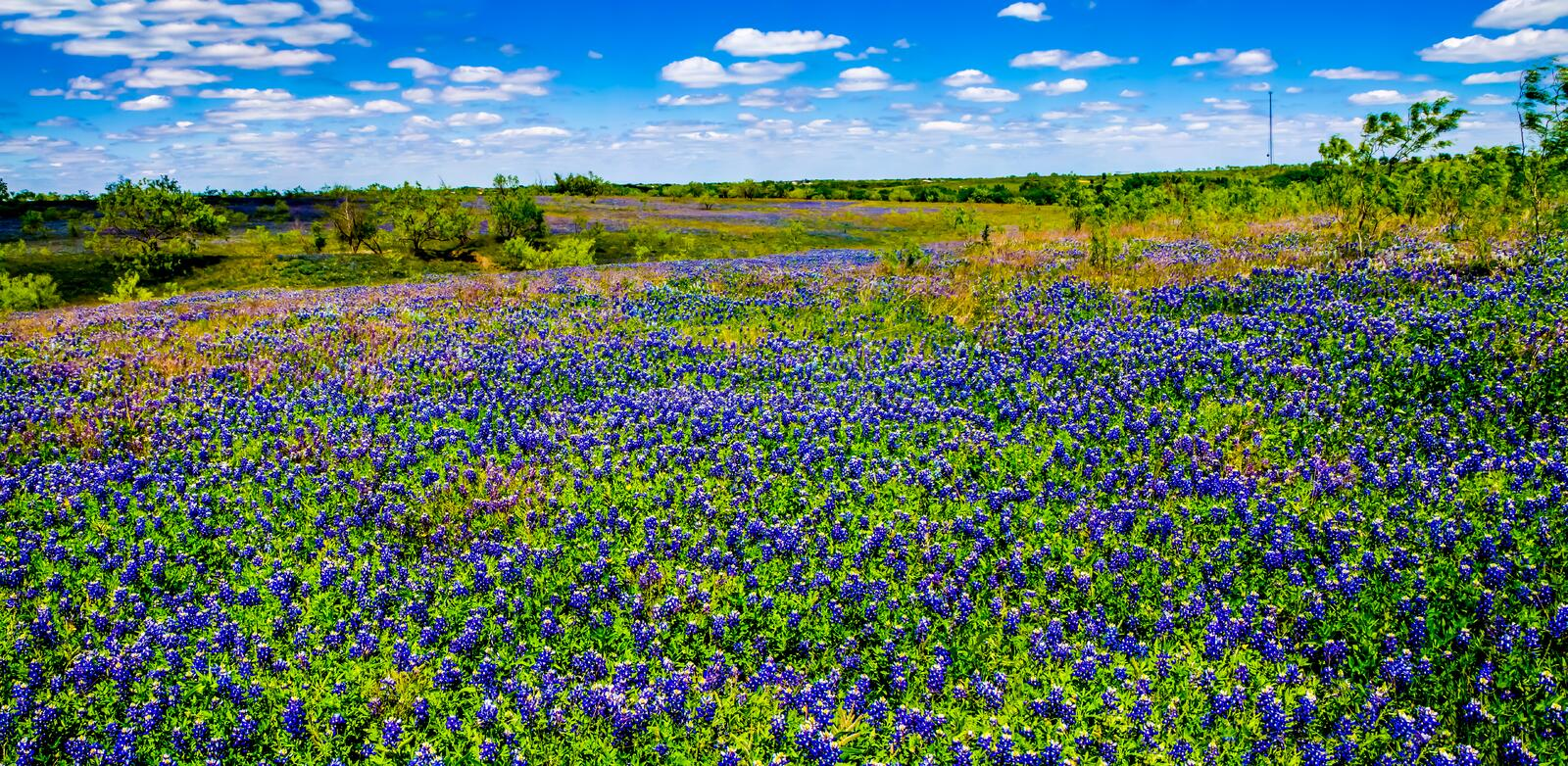 A Crisp Big Beautiful Colorful Panoramic High Def Wide Angle View of a Texas Field Blanketed with the Famous Texas Bluebonnets. A Big Beautiful Colorful High stock images