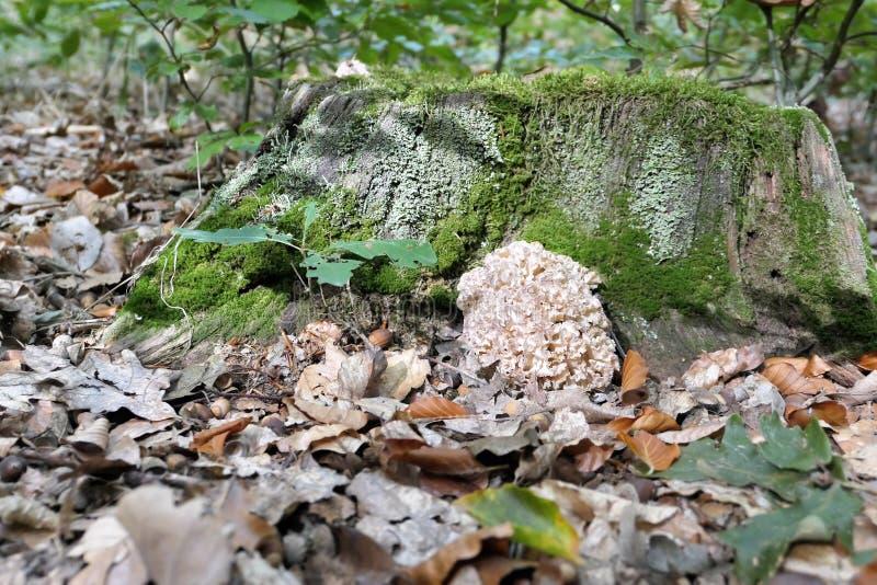 Crispa van Sparassis van de bloemkoolpaddestoel op een boomboomstam van beuk F royalty-vrije stock afbeelding