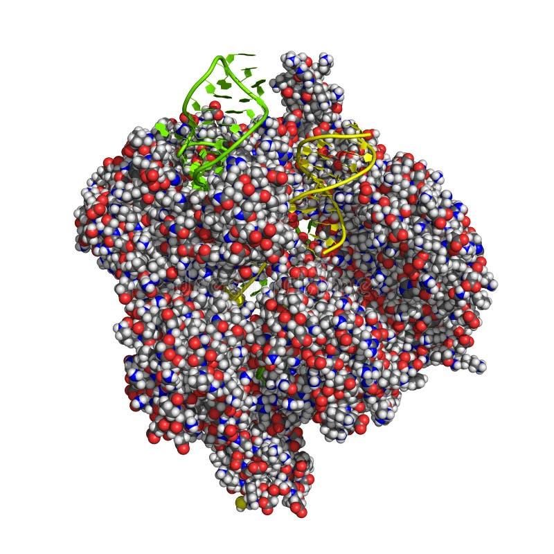 CRISPR/Cas9 proteiny model ilustracja wektor