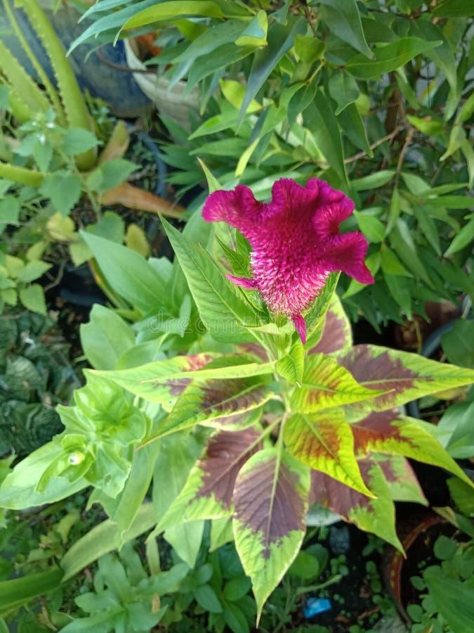 A crista, l?s chinesas floresce, o cristata das variedades do argentea L var cristata L Kuntze foto de stock royalty free