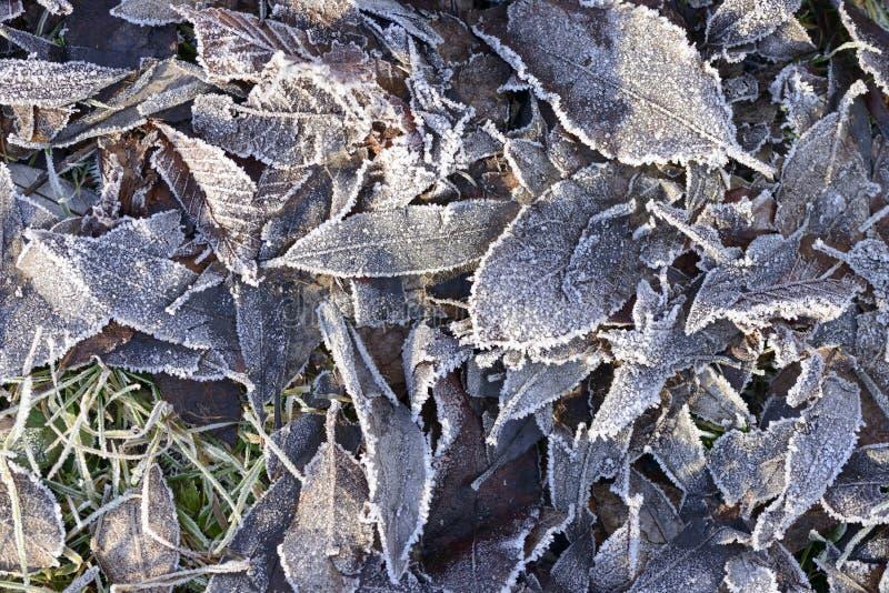 Cristales de hielo de Frost en las hojas muertas del invierno fotos de archivo libres de regalías