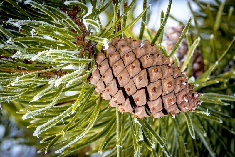 Cristales de hielo en agujas del pino con un cono fotografía de archivo libre de regalías