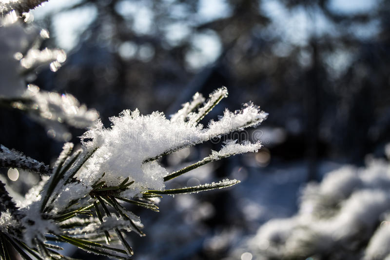 Cristales de la nieve en agujas del pino imágenes de archivo libres de regalías