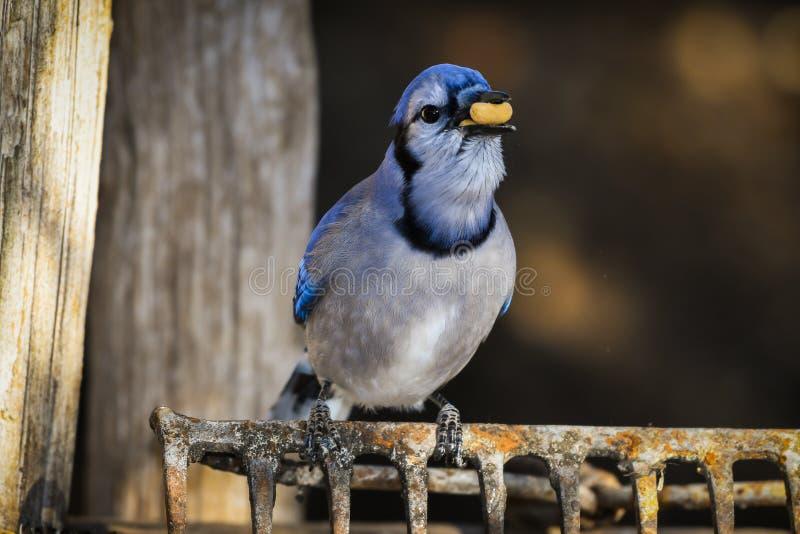 Cristata Cyanocitta голубого Джэй есть арахис стоковые изображения rf