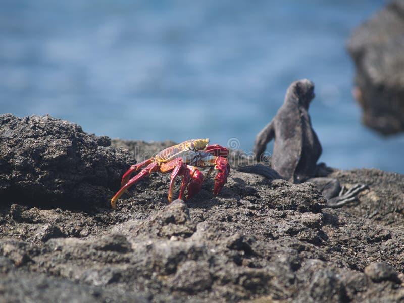 Cristatus de Galapagos Marine Iguana Amblyrhynchus et grapsus rouge de Grapsus de crabe de roche images libres de droits