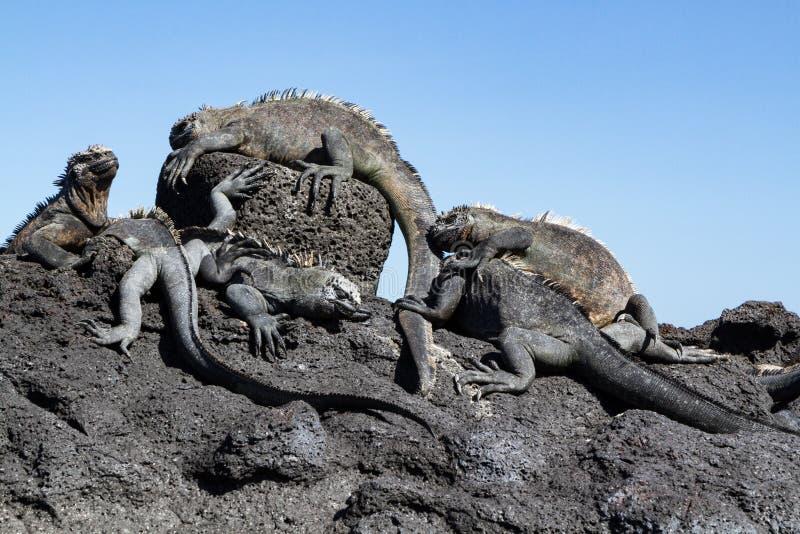 Cristatus di Galapagos Marine Iguanas Amblyrhynchus sulla roccia della lava, isole Galapagos fotografie stock