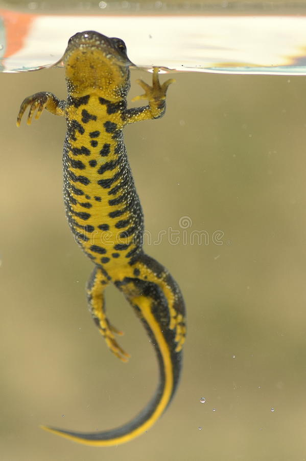 Cristatus do Triturus fotografia de stock royalty free