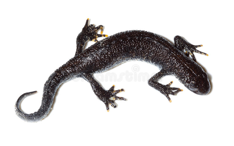 Cristatus do Triturus, grande Newt com crista foto de stock royalty free