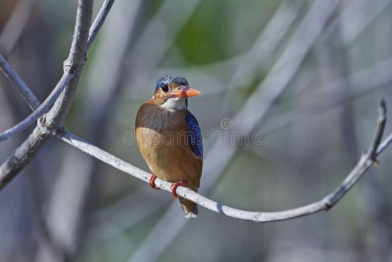 Cristatus van Corythornis van de malachietijsvogel stock foto