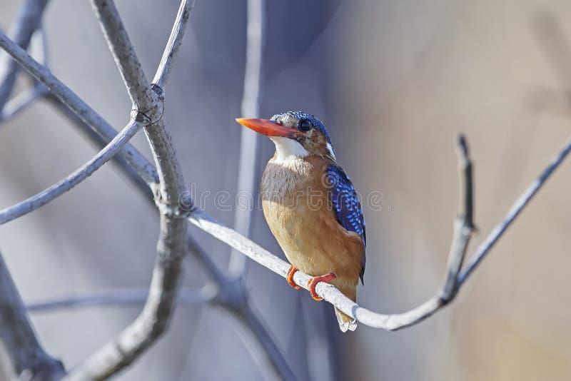 Cristatus van Corythornis van de malachietijsvogel stock fotografie