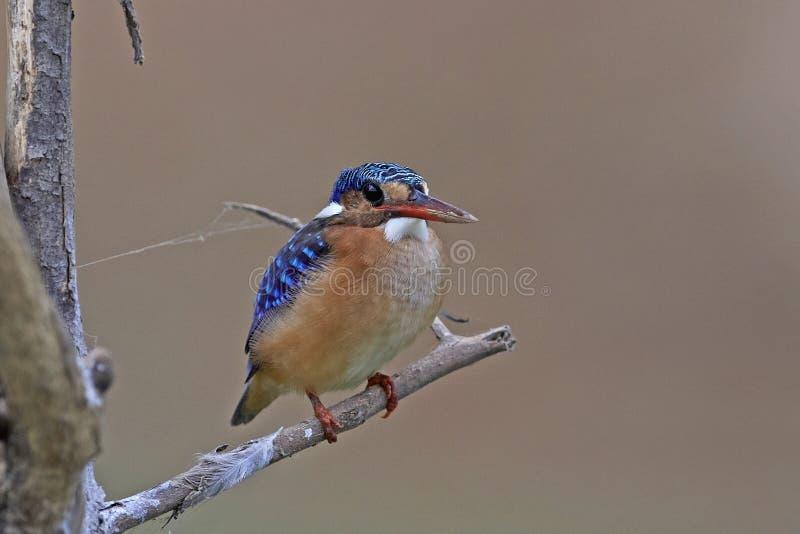 Cristatus van Corythornis van de malachietijsvogel royalty-vrije stock fotografie