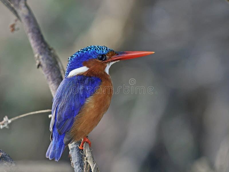 Cristatus van Corythornis van de malachietijsvogel stock foto's