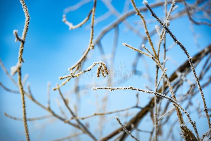 Cristaux de Frost sur des branches d'arbre en hiver sur le ciel bleu images libres de droits
