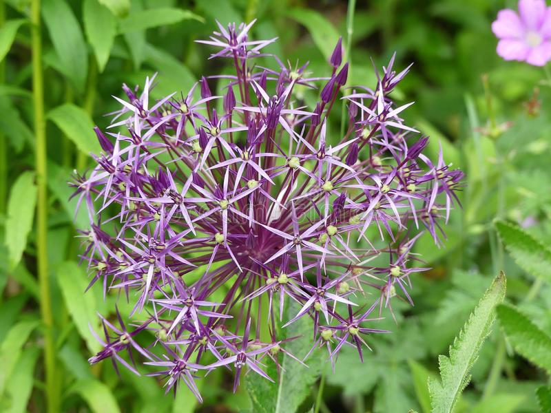 Cristophii del allium, cebolla del nombre com?n o estrella persa de Persia Una especie de natural de la cebolla a Turquía, a Irán imagenes de archivo