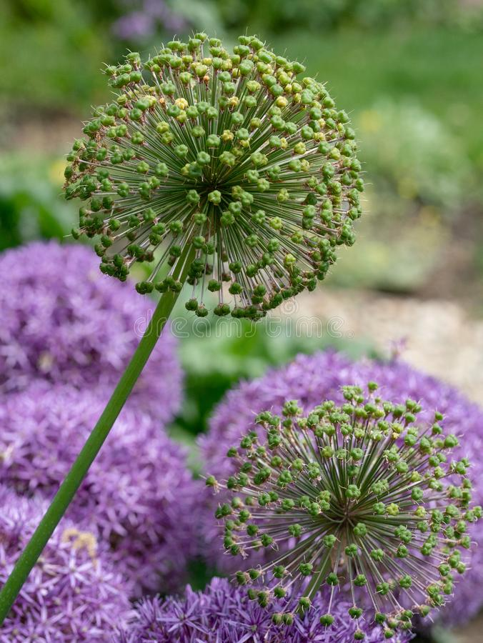 Cristophii dell'allium conosciuto comunemente come la stella del fiore di porpora di Persia immagine stock libera da diritti