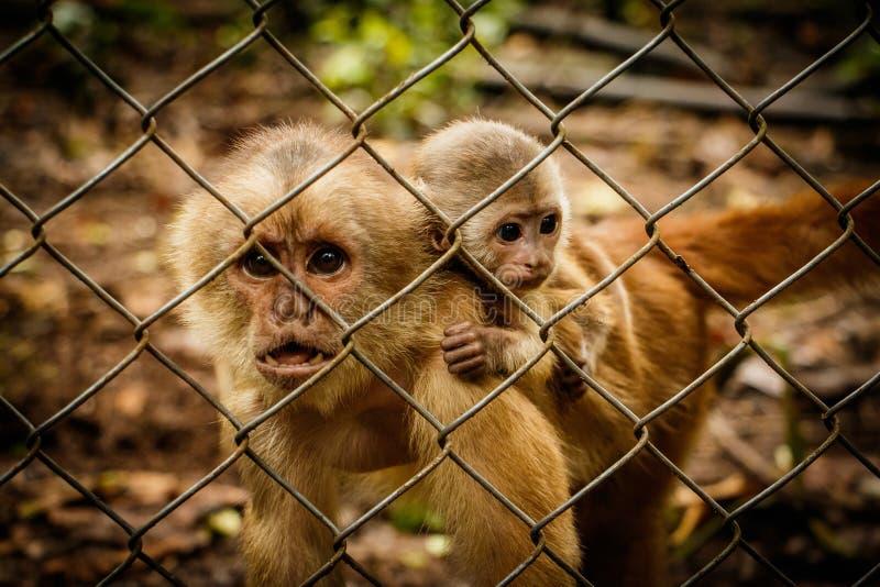 The critically endangered Ecuadorian Capuchin monkey. In captivity in Rescue centre, Ecuador royalty free stock photos