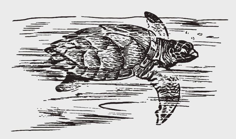 Critically endangered hawksbill sea turtle eretmochelys imbricata swimming stock photography
