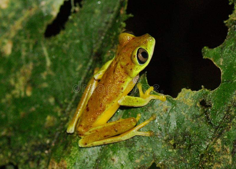 Critically endangered Lemur Leaf Frog. Agalychnis (or Hylomantis or phyllomedusa), in the wild in Costa Rica (species only remaining at two sites in Costa Rica royalty free stock images