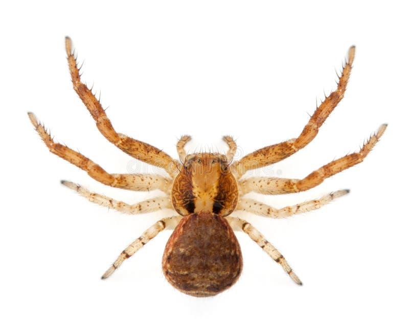 Critique despiadadamente la araña, SP de Xysticus imagen de archivo