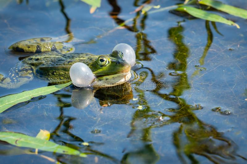 Croaking green frog in the water royalty free stock photo