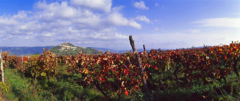 croatia motovun winnicy zdjęcie royalty free