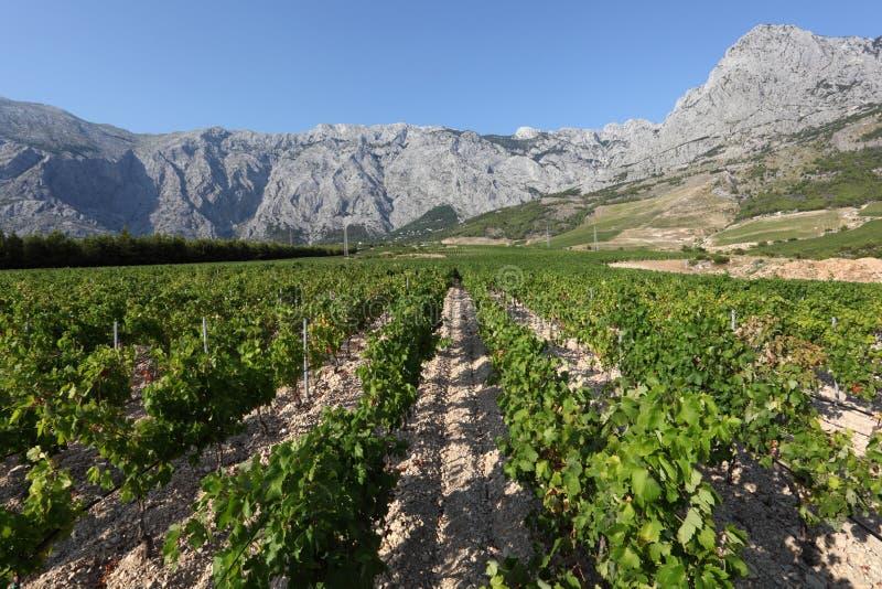 croatia vingård arkivbilder