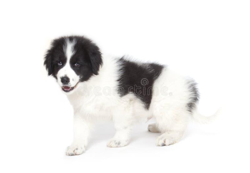 Download Tornjak puppy stock image. Image of tornjak, croatia - 30041527