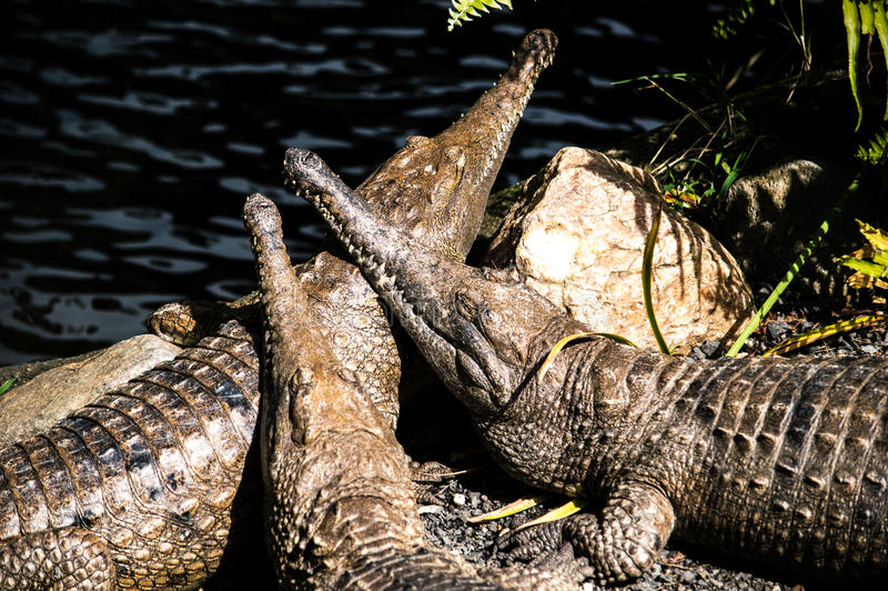 Croc που απολαμβάνει τον ήλιο στοκ φωτογραφία με δικαίωμα ελεύθερης χρήσης