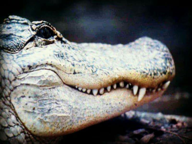 Croc fotografie stock
