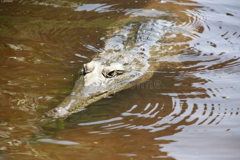 Croc på windjanaklyftan, kimberley, västra Australien royaltyfria bilder