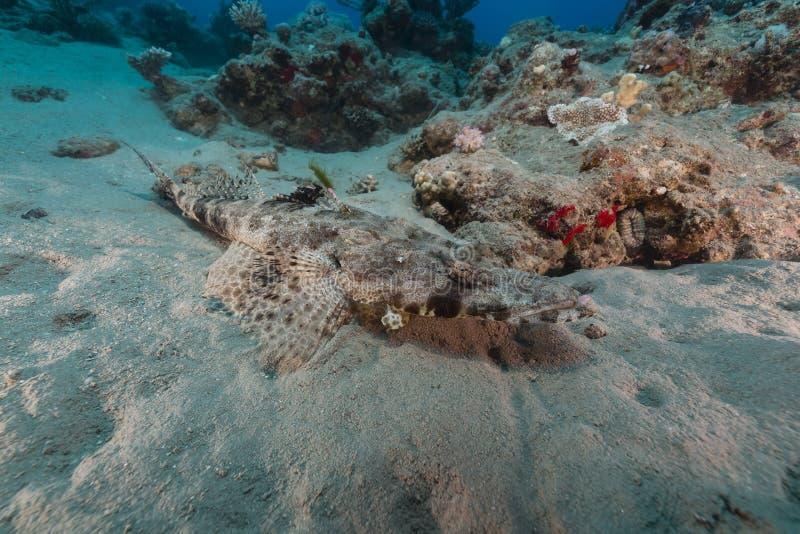 Croccodilefish在红海 库存照片