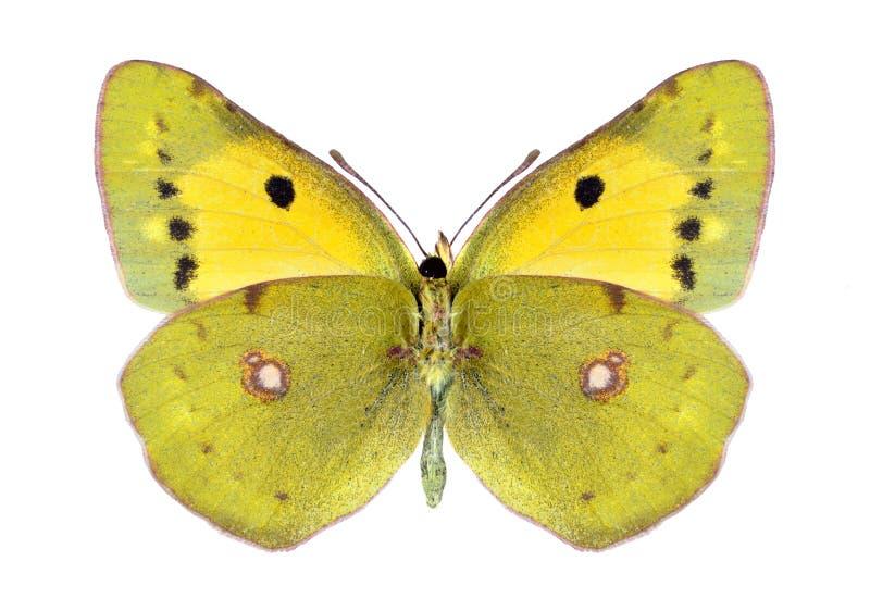 Crocea van Colias van de vlinder (wijfje) (onderkant) royalty-vrije stock foto's