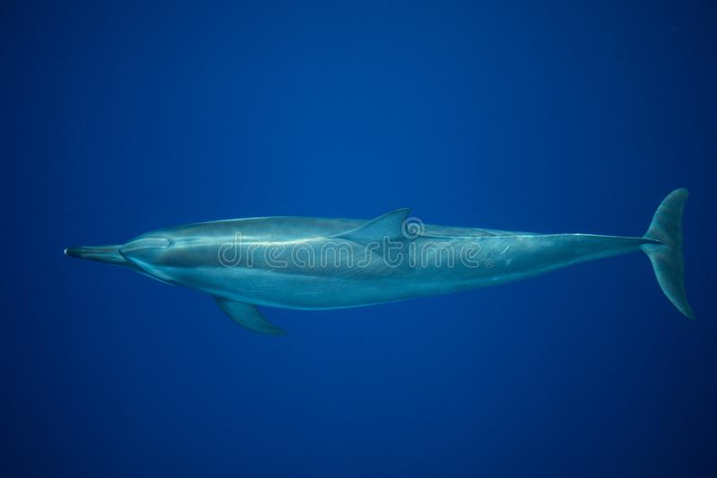 Crociere del delfino del filatore attraverso chiara, acqua blu immagine stock libera da diritti