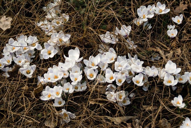 Croco bianchi fotografie stock libere da diritti