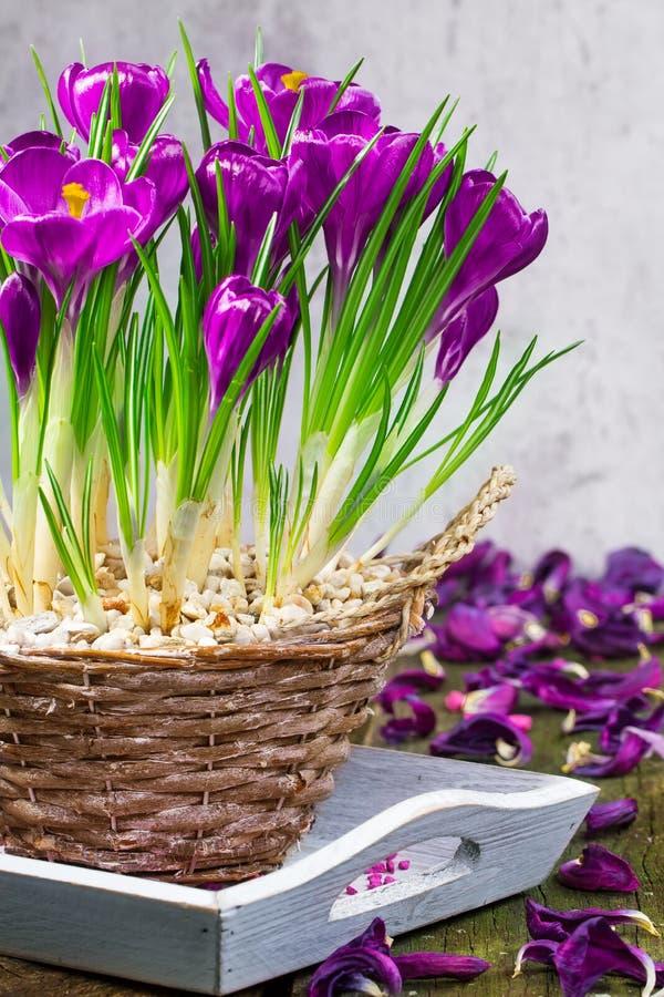 Croco, decorazioni della tavola in primavera fotografia stock libera da diritti