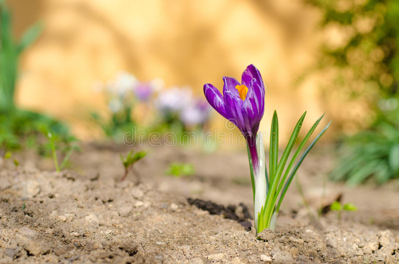 Croco del fiore della primavera su sfondo naturale Croco porpora della primavera nel giorno soleggiato fotografia stock libera da diritti