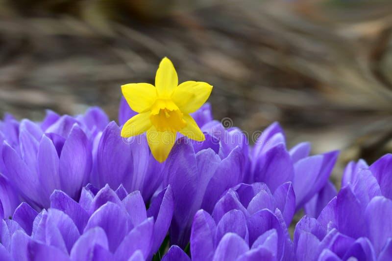 Croco e narciso - fiori della molla immagini stock