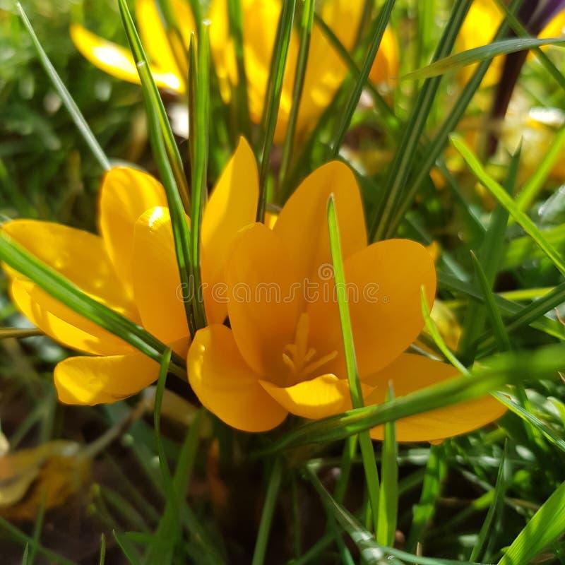 Croco giallo immagine stock