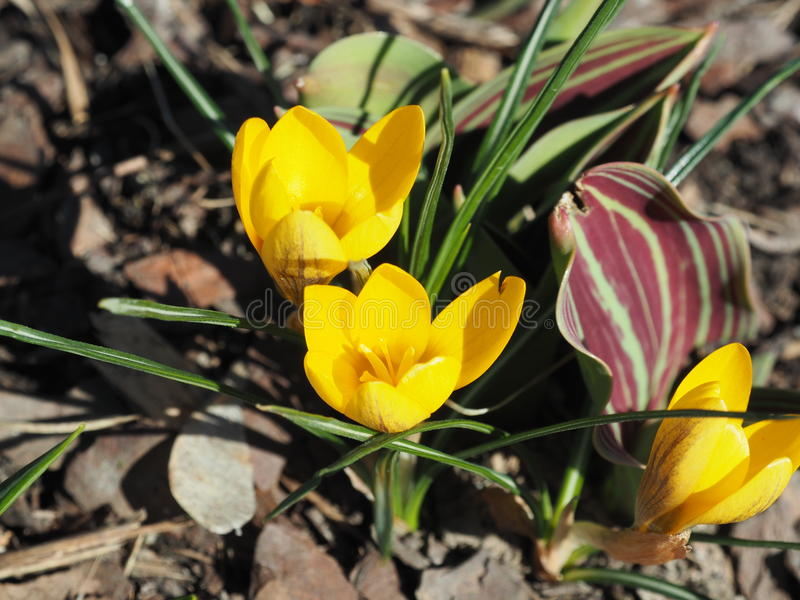 Croco giallo Chrysanthus Goldilocks fotografia stock