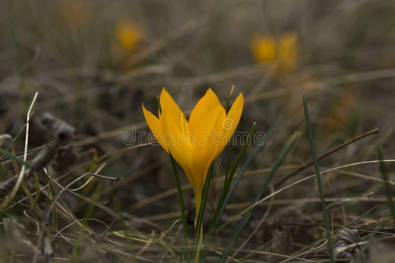 Croco giallo della molla in un fiore dello zafferano del forestWild Primo piano sui precedenti della sfuocatura fotografia stock libera da diritti