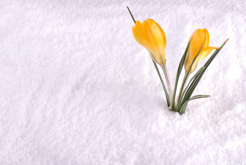 Croco nel colore giallo della neve immagini stock libere da diritti